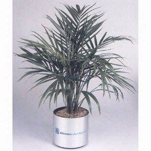 Luau Themed Promotional Items - Large Live Luau Plants